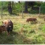 Traditional Healthy Fats – Pastured Pork Lard!
