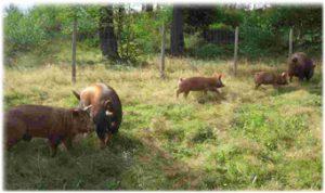 The Pigs at Sumas Mountain Farms