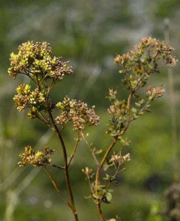 Wild Oregano Oil Antiviral Protocol for Flu Bugs